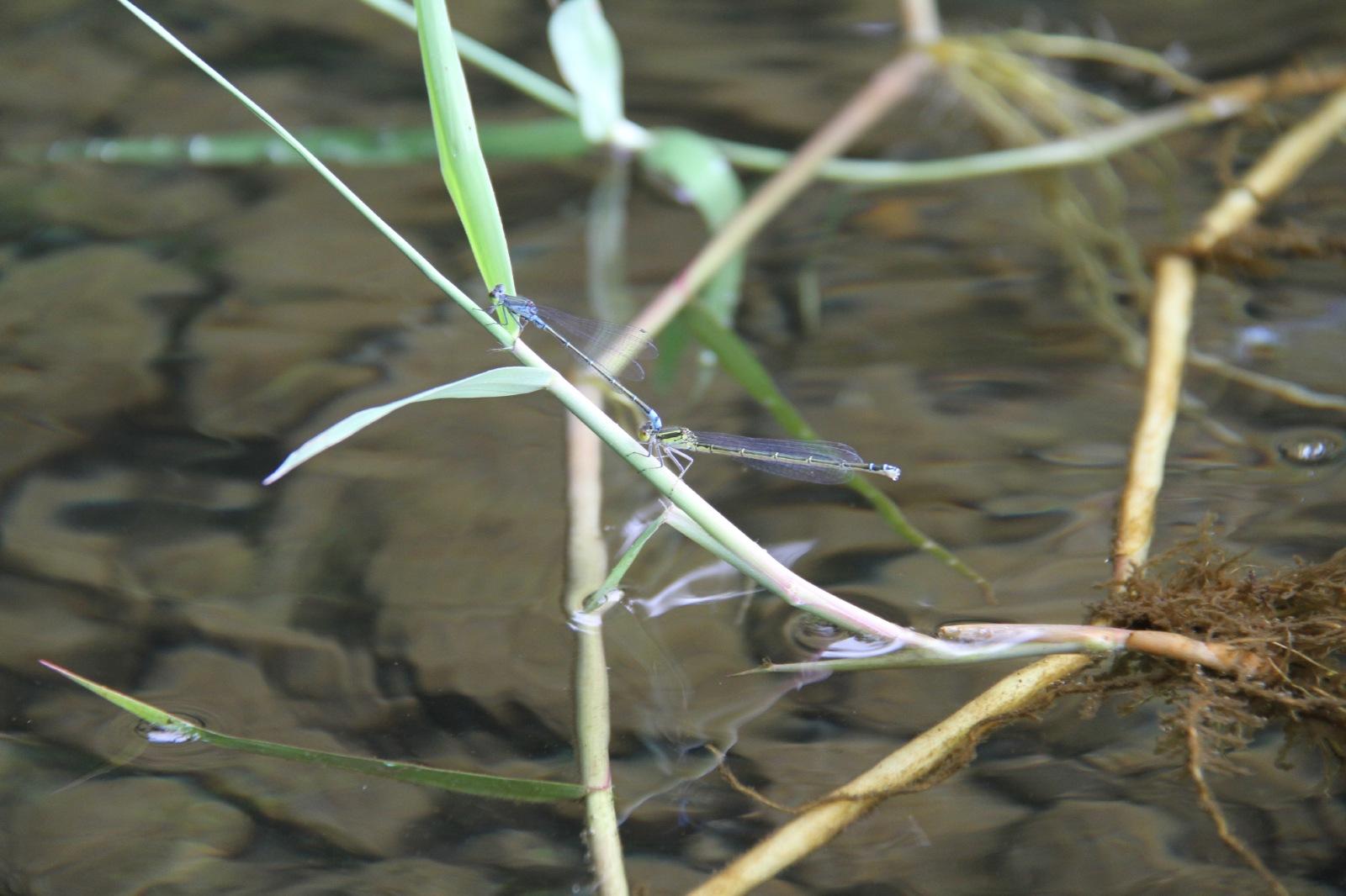 Dragon flies at lake Aoki