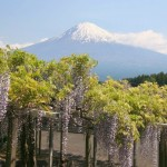 Wisteria trellis and Mount Fuji