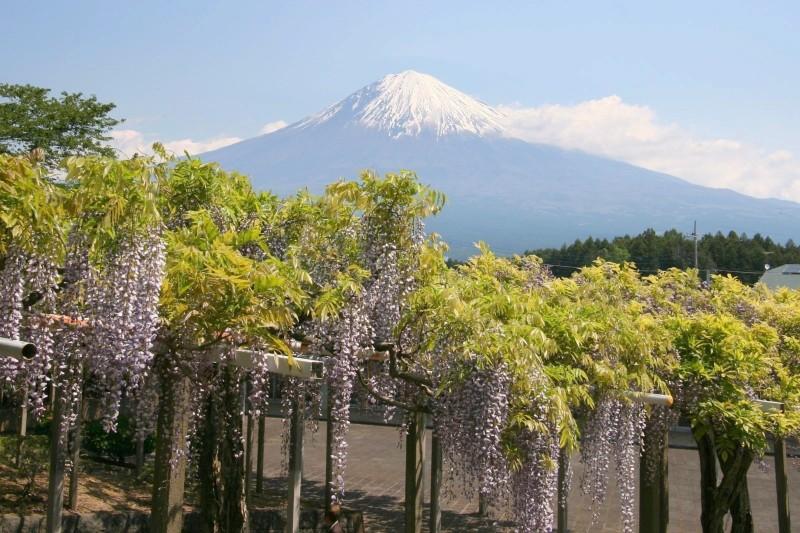 Wisteria trellis and Mount Fuji