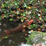 A carp in a pond