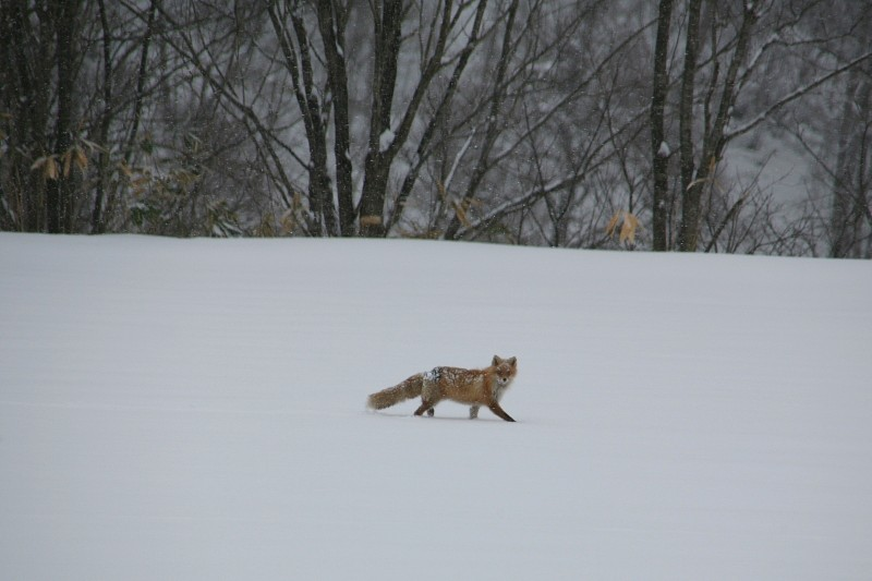 Kitakitsune - Ezo red fox