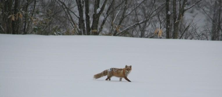 Kitakitsune, Ezo red fox