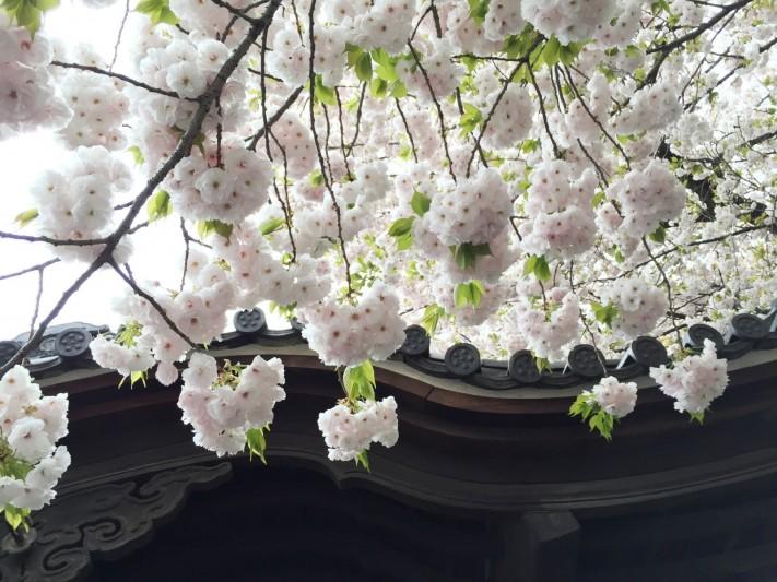 Yae-Zakura1