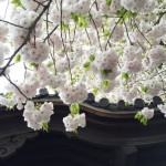 Joy of cherry blossom, again