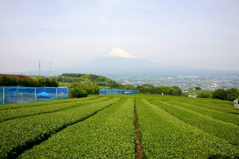 Mt. Fuji and green tea fields.
