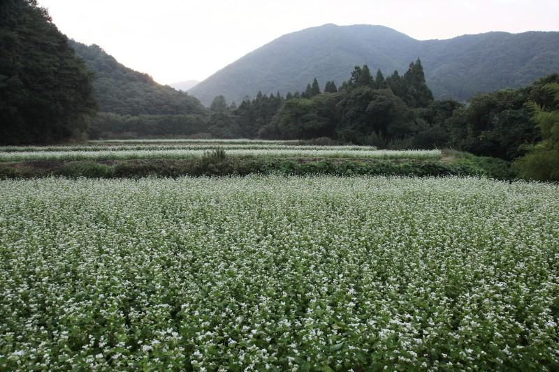 Soba batake in Inawashiro