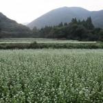 Buckwheat field in Fukushima, Inawashiro