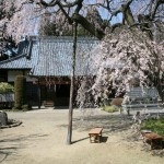 Soryu-ji temple and the weeping cherry tree