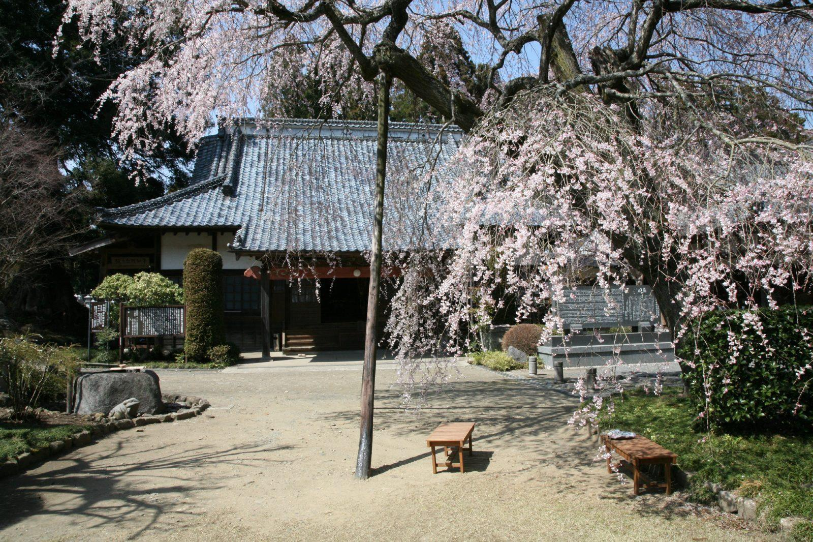Soryu-ji temple and the weeping cherry tree
