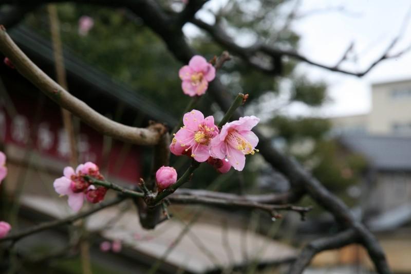 Japanese apricot, Kanazawa