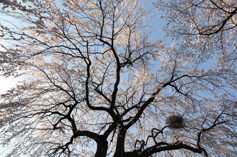 Cherry blossoms, Yamanashi
