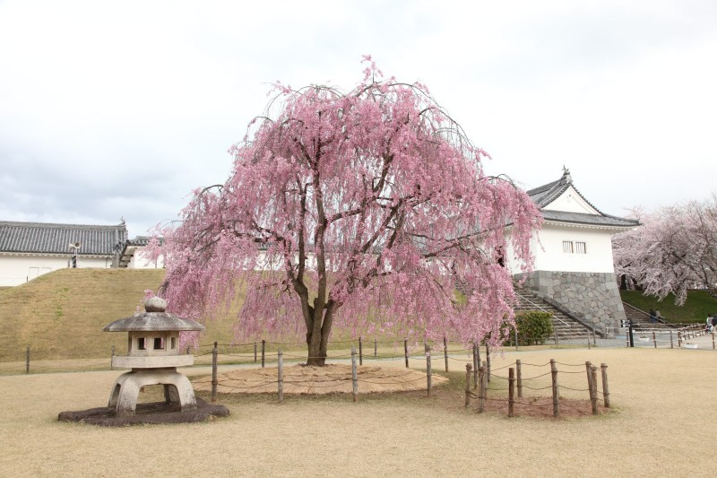 Yamagata castle and Cherry blossoms