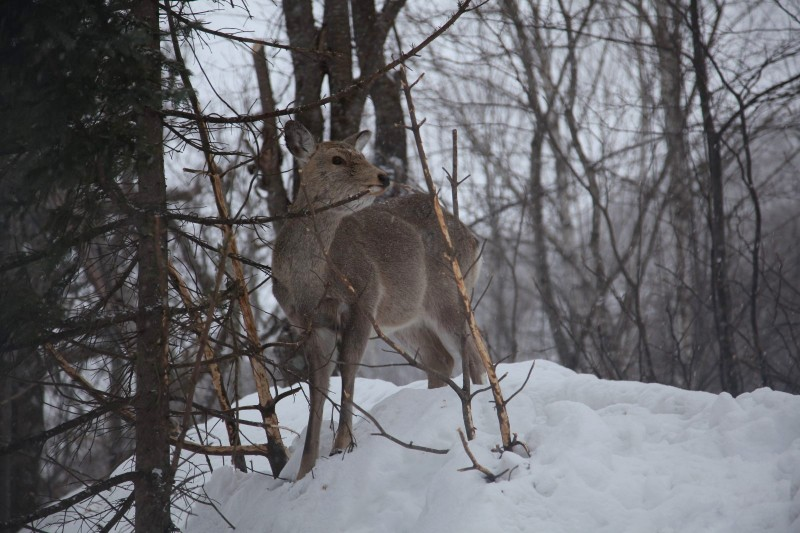 Hokkaido Sika Deer, Chitose-shi