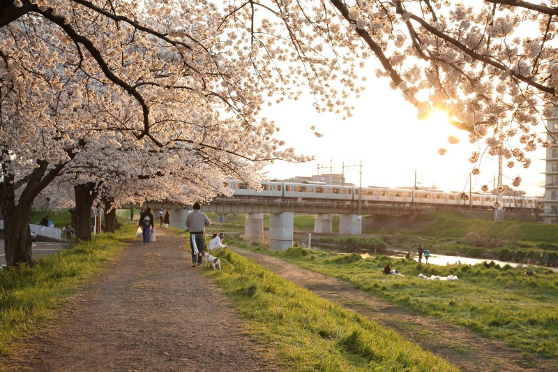 Cherry blossoms at Yanasegawa