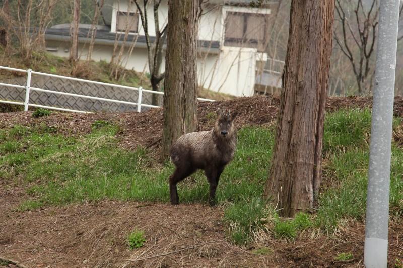 Antelope, Hida, Gifu