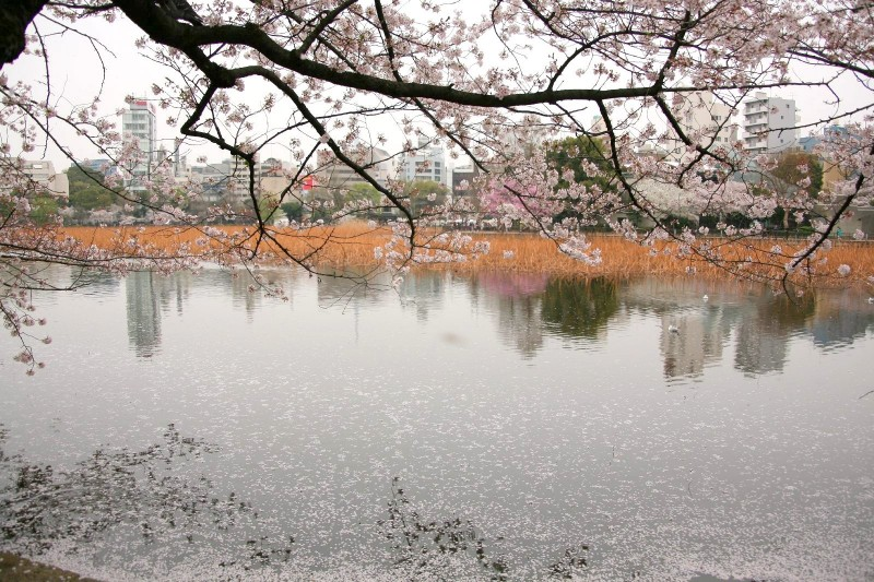 Cherry blossoms at Shinobazunoike