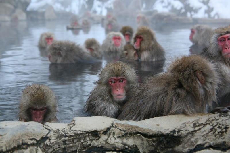Jigokudani Yaen Koen, Snow Monkey Mountain, Nagano.