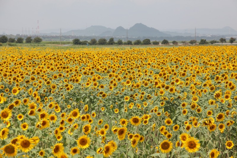 Sunflower field in Kasaoka Bay reclaimed land