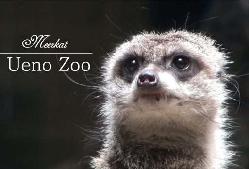 How about Meercat @Ueno zoo?